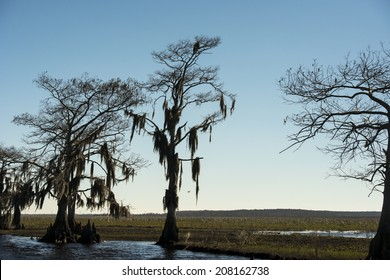 Silhouetted Trees with Bald Eagle, Florida