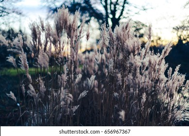 Silhouettes of Common Reed plants against cloudy colorful sunset background.