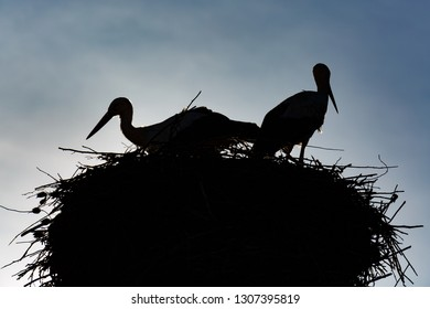 Silhouettes of common storks in the nest. Ciconia ciconia.