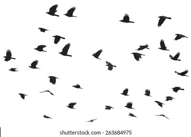 Silhouettes of Crows Flying at the White Background
