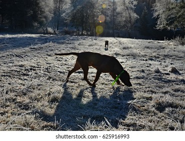 silhouettes of dogs on the morning walk