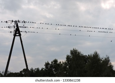The silhouettes of the flock of common starlings on a high-voltage line, grey sky and some trees
