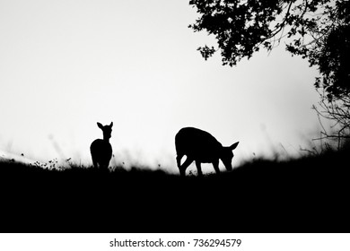 silhouettes of grazing roe deers under sunset
