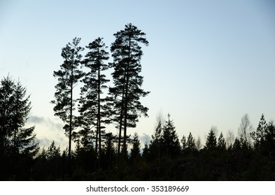 Silhouettes of a group of pine trees at dusk in a dark forest