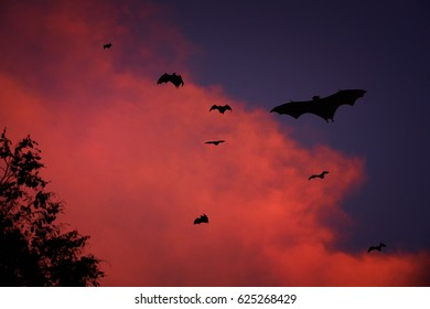 Silhouettes of  Indian flying fox or fruit bat, Pteropus giganteus, against stormy clouds illuminated by setting sun. Nocturnal fruit bats flying against red clouds.  Anuradhapura, Sri Lanka.