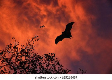 Silhouettes of  Indian flying fox or fruit bat, Pteropus giganteus, against dramatic, stormy clouds illuminated by red setting sun. Fruit bats in  colorful evenening.  Anuradhapura, Sri Lanka.