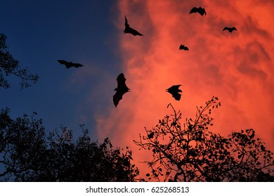 Silhouettes of  Indian flying fox or fruit bat, Pteropus giganteus, against red, stormy clouds illuminated by setting sun. Fruit bats in evening, leaving the colony.  Anuradhapura, Sri Lanka.