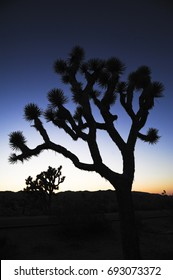 Silhouettes of Joshua Trees at sunset in Joshua Tree National Park.