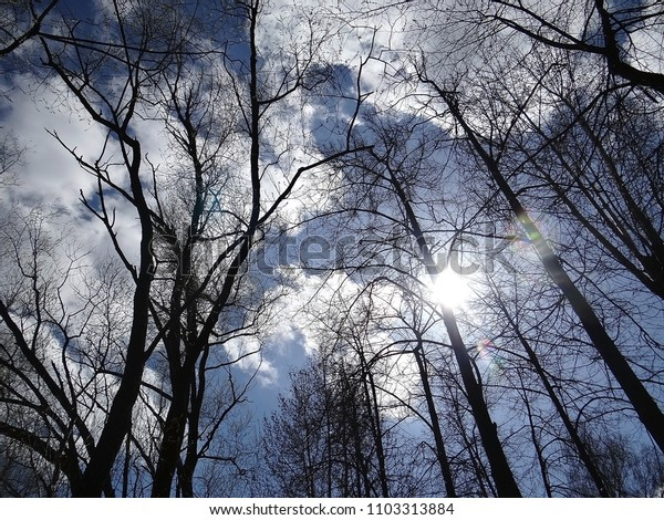 Silhouettes of leafless trees against a background of bright spring sun and blue sky with clouds