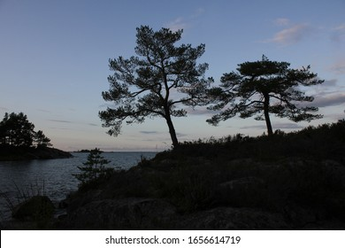 Silhouettes of old trees growing in Vita Sannar, Sweden.