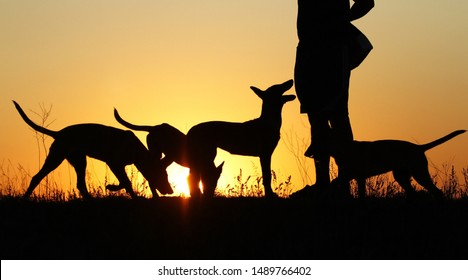 Silhouettes of puppies at sunset, three puppies, Belgian Shepherd Dog Malinois puppies, many dogs, sunset background