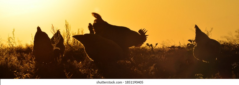 Silhouettes of a rooster and hens against the sunset. Copy space for text.