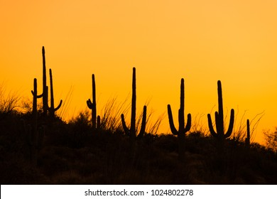 silhouettes of Saguaro cacti at sunset in Tucson Saguaro National Park east