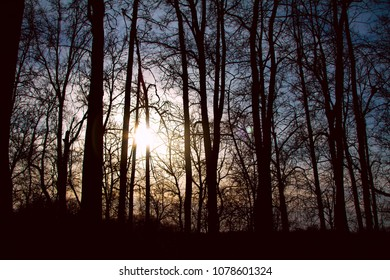 silhouettes of tall trees at sunset in the forest