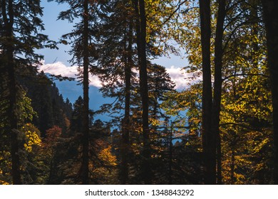 Silhouettes of thick tree trunks with yellow leaves lit by the sun in dense autumn forest in front of bright blue mountains and sky