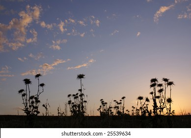 silhouettes of thistle on a background sunset in the desert