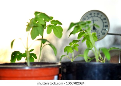 Silhouettes of tomato seedlings and window thermometer on the background with setting sun.