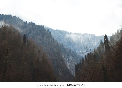 Silhouettes of trees against background of snowy mountains of Abkhazia. Forest covered by snow on foggy ridge. Trees grow on rocky terrain.