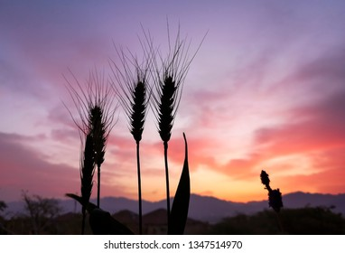 Silhouettes of wheat ears at the beginning of dust storm. Selective focus on plants. Blurred background of dust clouds and mountains. Creative image of nature. Concept of harvest