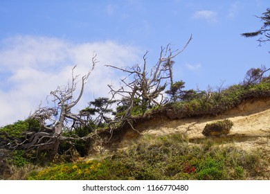 Silhouettes of wind sculpted Krumholz trees on eroded hill above Ona beach State Park, Newport, Oregon