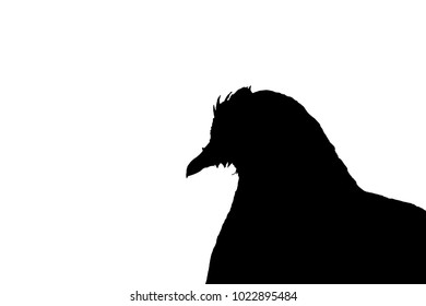 Silhoulette of a pigeon with white background