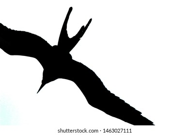 A silhoutte of a flying magnificent frigate bird,Fregata magnificens, with a white bacground