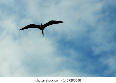 A silhoutte of a magnificent frigate bird,Fregata magnificens, flying against a blue sky