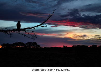 Silhoutte of Tawny Eagle, Aquila rapax, perched on branch against colorful evening sky over Kalahari. Dramatic clouds illuminated by setting sun. Kalahari desert landscape, Kgalagadi , Botswana.