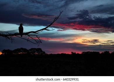 Silhoutte of Tawny Eagle, Aquila rapax, perched on branch against colorful evening sky over Kalahari. Dramatic clouds illuminated by setting sun. Kalahari desert landscape, Kgalagadi , Botswana.