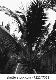 silhulte coconut tree
