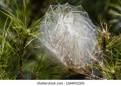 Silk bag of the pine processionary. Thaumetopoea pityocampa.