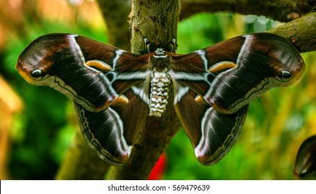 Silk butterfly (Samia ricini)