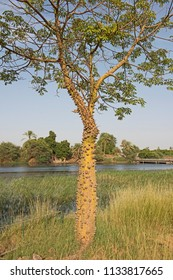 Silk floss tree ceiba speciosa with spiky thorns and leafy canopy growing in meadow on bank of large african river landscape