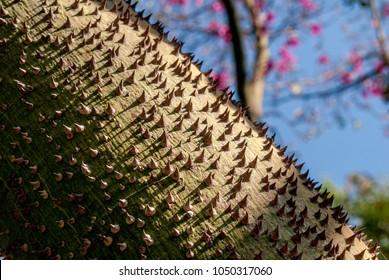 Silk Floss Tree (Chorisia speciosa) in Los Angeles County arboretum, Los Angeles, California, USA