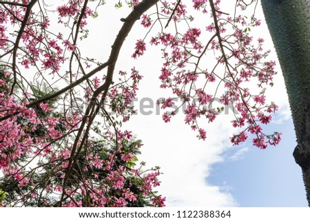 Silk Floss Tree Pink Blooms Spiked Stock Photo Edit Now 1122388364