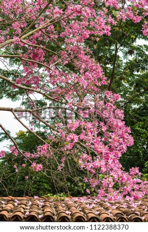 Silk Floss Tree Pink Blooms Spiked Stock Photo Edit Now 1122388370