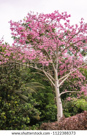 Silk Floss Tree Pink Blooms Spiked Stock Photo Edit Now 1122388373