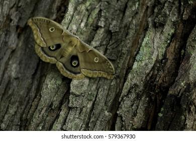 Silk Moth on Light Bark