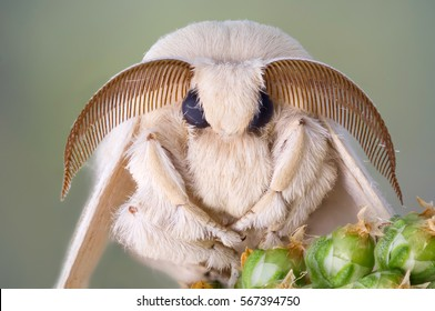 Silk moth portrait. White fur and large antennas.