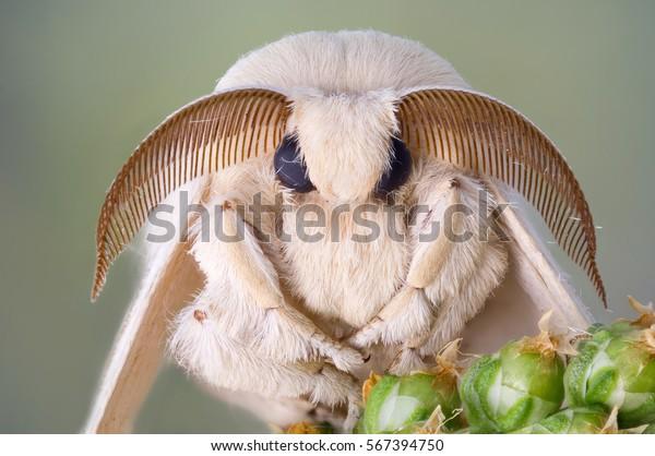 Retrato de polilla de seda. Pieles blancas y antenas grandes.