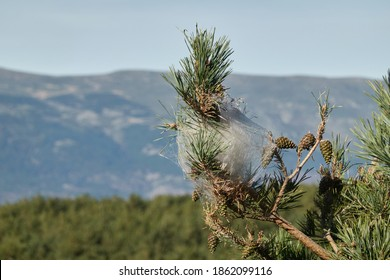 Silk nests of the processionary caterpillar in the pines of the Sierra de Guadarrama National Park. Madrid's community. Spain