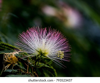 Silk tree bloom on green background
