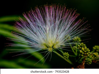 Silk tree flower close up with dark background