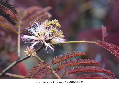 Silk tree Summer Chocolate leaves - Latin name - Albizia julibrissin Summer Chocolate