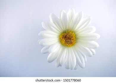 Silk White Daisy against a Cool Blue White Background