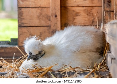 Silkie bantam hen seen sitting on a clutch of eggs, as seen in her makeshift chicken house during early summer.