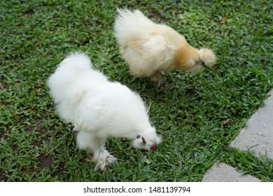 Silkie chicken White On the farm