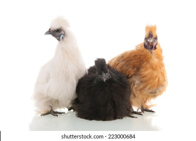 Silkie chickens brown, black and white isolated over white background