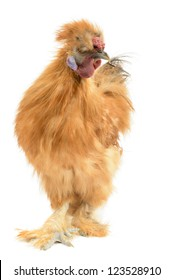 Silkie Rooster, Gallus Domesticius, isolated on White background.