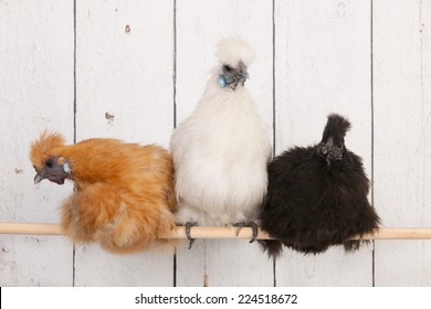 silkies chickens in henhouse on stick